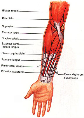 muscles of the human body, Cephalic Vein